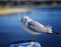 Seagull,Onset State Pier